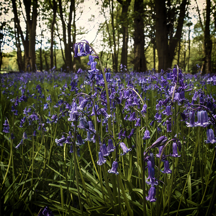photoblog image lots of bluebells this year